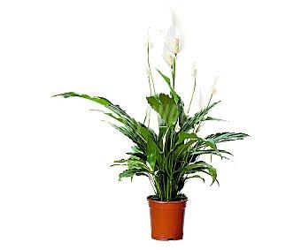 Viveros Spathiphillium Petite, flor de la paz o flor de muerto, en maceta de plástico de 14 centímetros 1 unidad