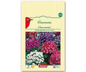 Auchan Semillas para plantar cineraria de diferentes variedades Semillas Cineraria