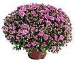 Crisantemo bola maceta 19 centímetros, viveros.  Viveros
