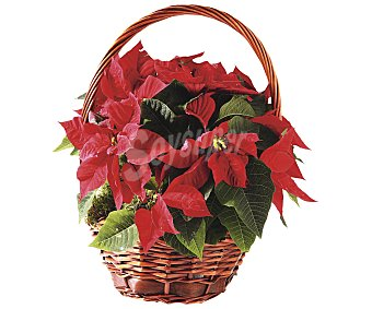 Viveros Bonita cesta con 4 o 5 flores de Pascua de color rojo VIVIEROS. Este producto dispone de distintos modelos o colores. Se venden por separado SE SURTIRÁN SEGÚN EXISTENCIAS