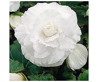 Viveros Begonia blanca calibre 4/5 - 3 bulbos, viveros.