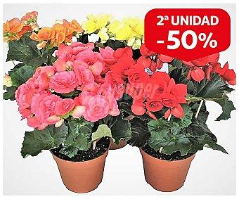 Batlle Mix plantas flor en maceta, tamaño de 10,5 centímetros, 1 unidad, batlle. 1 unidad